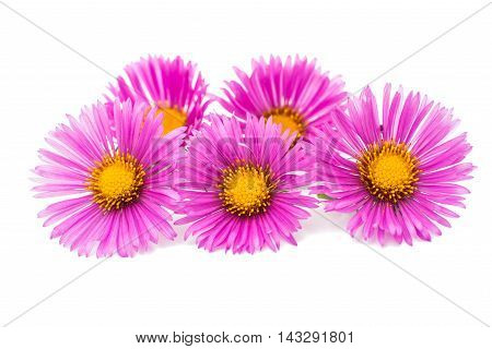 magenta chrysanthemum daisy, floral on white background
