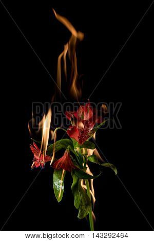 Alstroemeria Flower On Fire