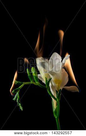 White Freesia Flower On Fire