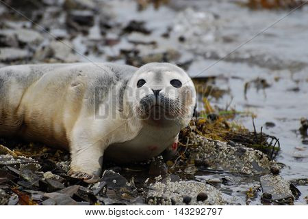 Cute face of a baby seal on the shore.