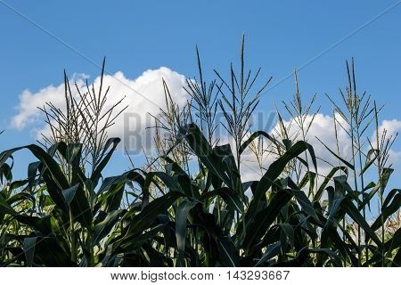 Maize With Blue Sky And Clouds