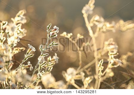 White Campion (Silene latifolia) lit by the rising sun