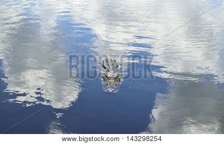 An alligator swimming thru the reflection of the clouds in the water.