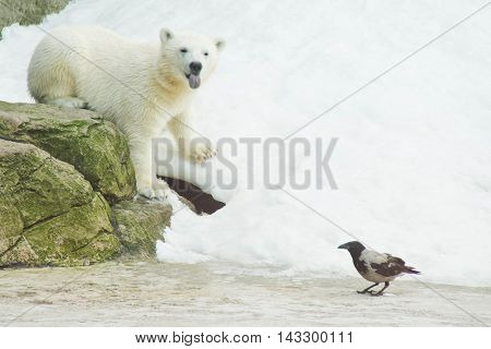 Bear And A Crow In The Snow