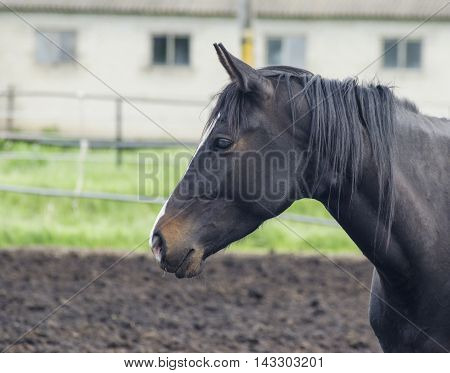 black horse with a white blaze on his head is in the paddock