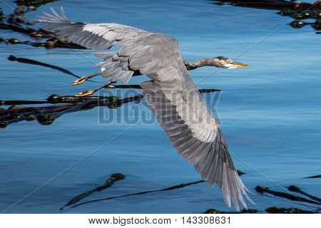 blue heron with wide open wings flying