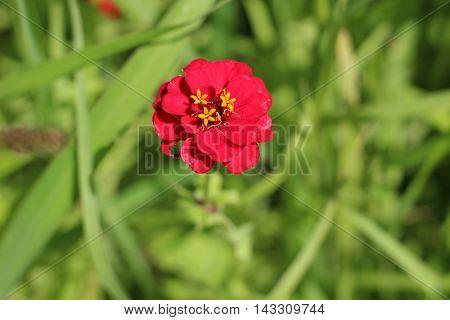 Flor roja con pistilos amarillos sobre fondo verde