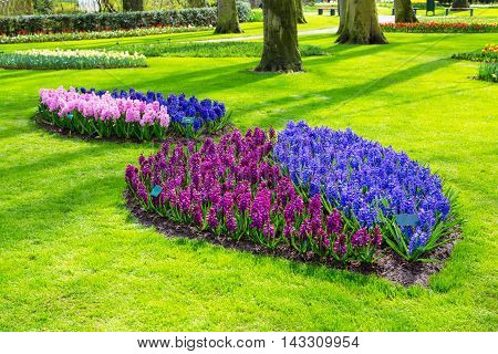 Colorful blue, purple, pink and lilac hyacinth flowers blossom in dutch spring garden