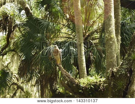 A hawk on a branch in the forest.