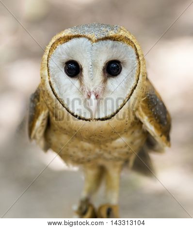 A Barn Owl On Tree Stump against a natural blurred background