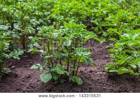 young potato tubers growing in a garden in the open field. Growing vegetables at home.