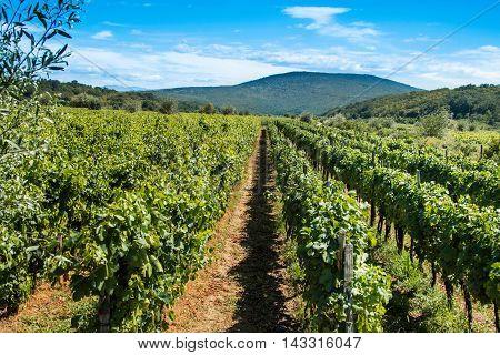 Vineyard in the countryside in Vrbnik, island of Krk, Croatia