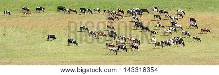 herd of cow grazing in a green meadow