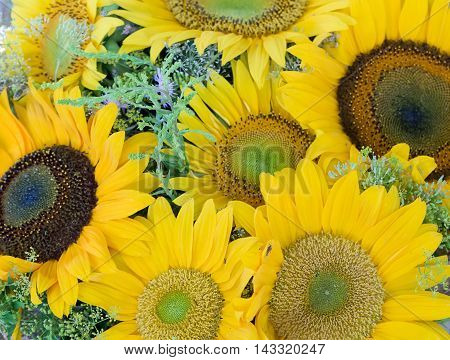 close up of the nice yellow sunflowers.