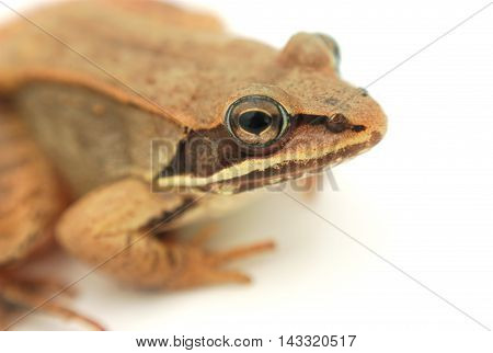 frog portrait in studio, white background closeup