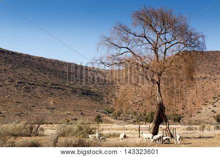 Sheeps Under The Tree - Nieu-bethesda Landscape