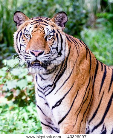 The Bengal tiger, also called the royal Bengal tiger (Panthera tigris tigris), is the most numerous tiger subspecies