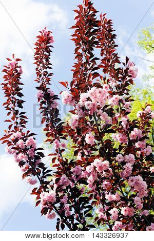 Branches With Pink  Blossoms