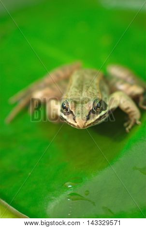brown wood frog on a green waterlily in nature