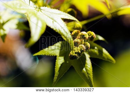 Green Leaves And Buds