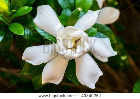 Gardenia Bloom Straight On as it opens in summer