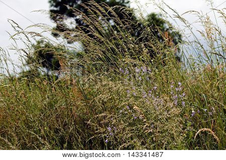 Tall Grass And Wind