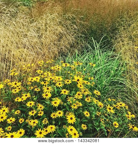 Decorative grass and Rudbeckia flowers blooming in the summer garden.