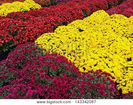Beautiful yellow red and purple chrysanthemums at the autumn market.