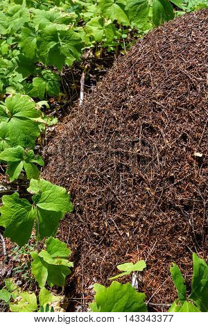 Anthill in the woods surrounded by vanilla leaf plants