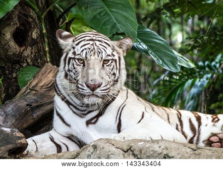 The white tiger is a pigmentation variant of the Bengal tiger