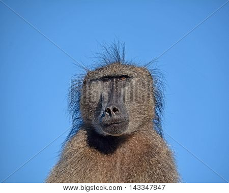 Portrait of a male Chamca Baboon against a blue sky in Southern Africa
