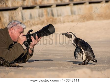 A curious Penguin goes for a closer look at a male photographer on a beach in Africa