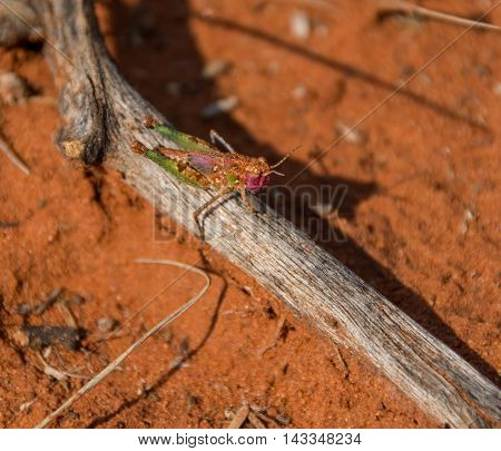 A Grasshopper nymph sitting on a stick in Southern African savanna