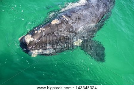 A closeup of a curious juvenile Southern Right Whale in False Bay South Africa