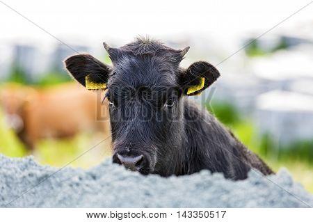Portrait photo of a cute black calf