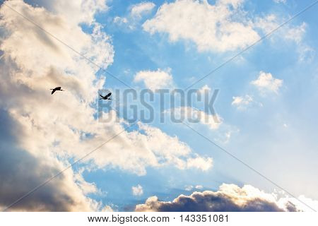 Flying glossy ibis under the cloudy blue sky