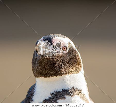 A closeup head portrait of an African Penguin