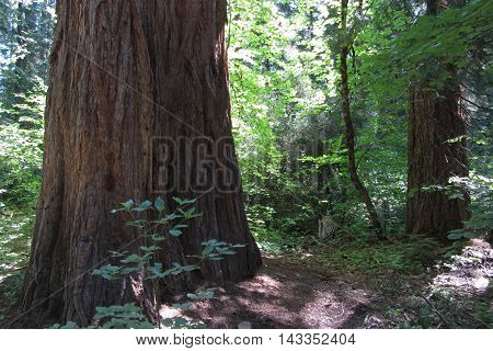 Giant sequoia, Calaveras Big Trees State Park, California Highway 4