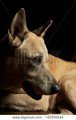 Malinoise Shepherd Portrait