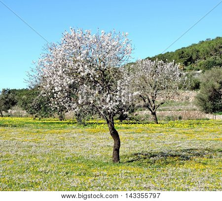 Almond tree plantation and clear blue sky, blossoming almond tree with white and pink flowers.