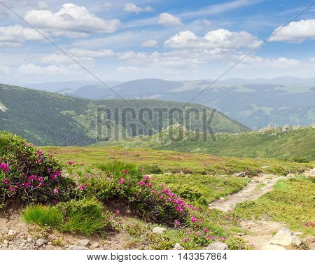 Rhododendrons on the alpine meadow beside the tourist trail on the background of a mountain ridges and sky with clouds