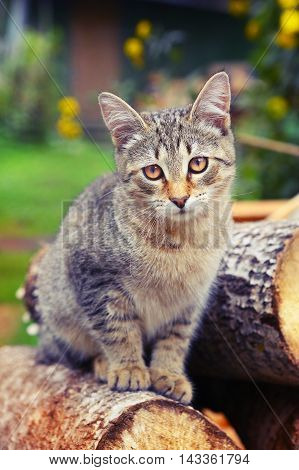 gray striped kitten close up portrait outdoor sunny summer photo