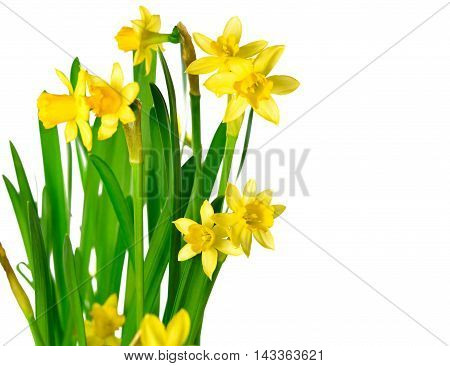 Yellow daffodils or narcissus flowers, isolated on white background with selective focus.