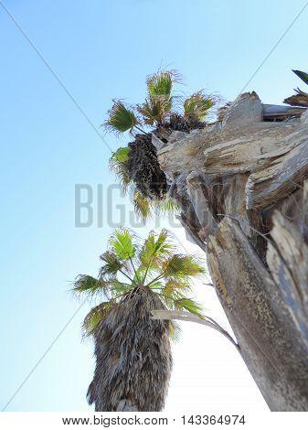 two hug he fan palm trees, low angle view.
