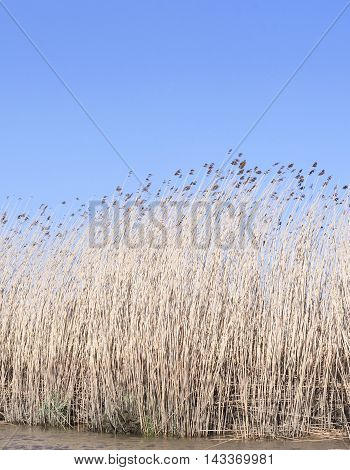 Wetland or swamp with reeds and blue sky.
