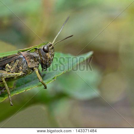 Macro beautiful grasshopper sits on a leaf