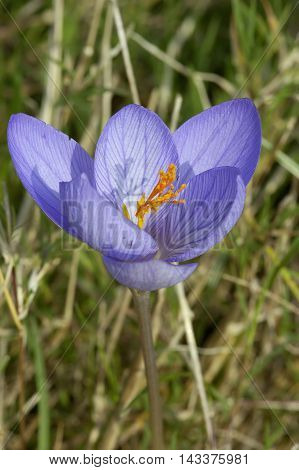 Veined Autumn or Bieberstein's Crocus - Crocus speciosus