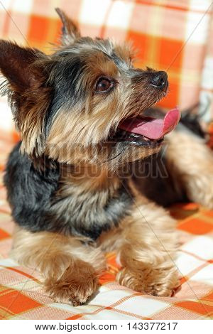 Cute Yorkshire Terrier sitting on the Chair
