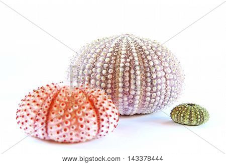 Sea urchins in different colors, isolated on white background with copy space.