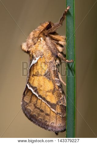 Orange swift moth (Triodia sylvina) on grass. A primitive moth in the family Hepialidae at rest on blade of grass